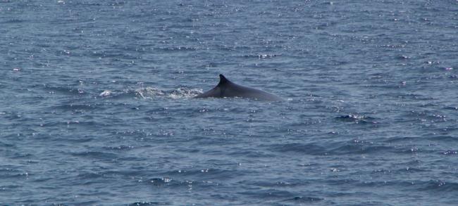 cetaceos en el Estrecho